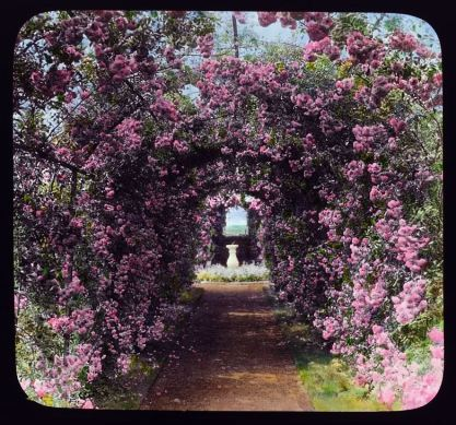 Roses at Armsea Hall, glass lantern slide by Francis Benjamin Johnson, Library of Congress - Copy