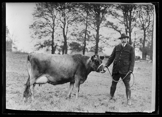 Dairy cow at Salisbury, Red Cross 1918