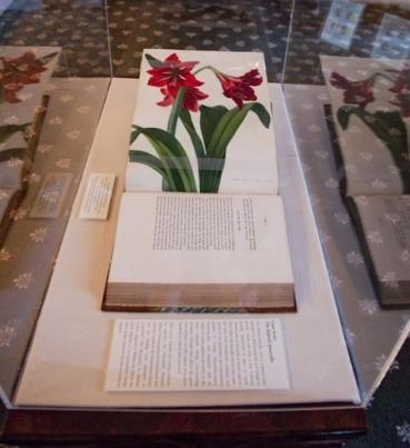Amaryllis in display case