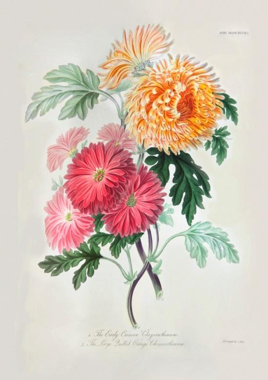 Early Crimson Chrysanthemum and Large Quilled Orange Chrysanthemum