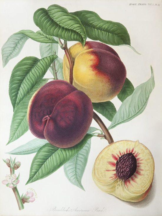 Braddick's American Peach